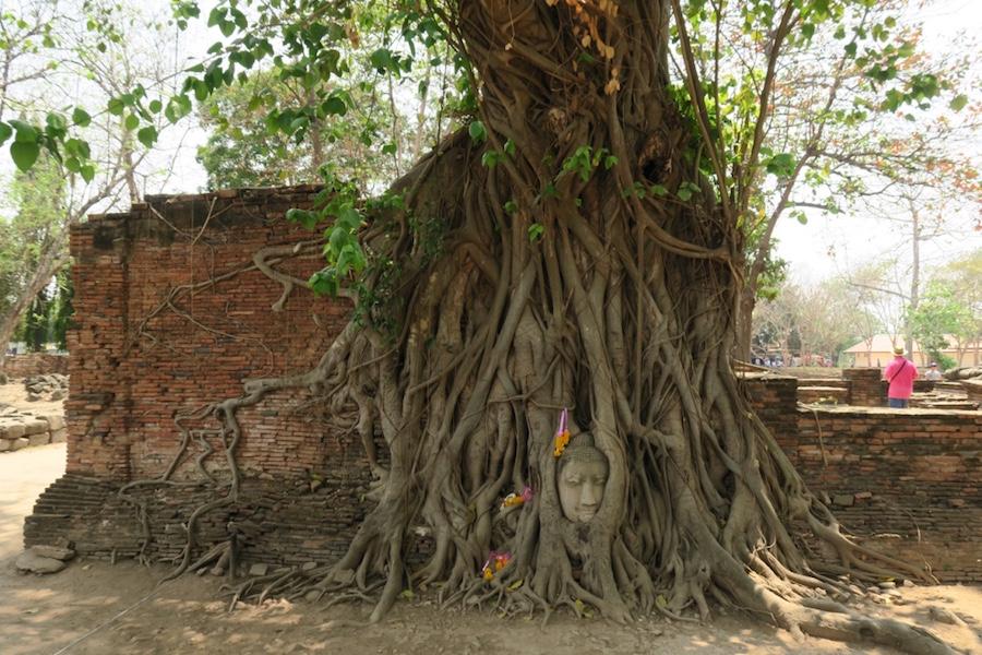Boeddha hoofd in boom Wat Phra Mahathat