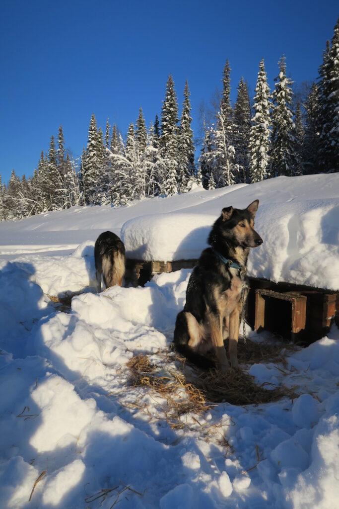 Alaskan Husky safari Lapland