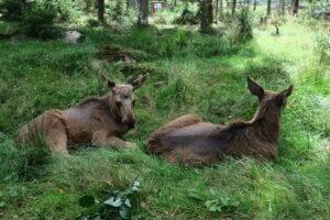 Baby elanden in Zweden