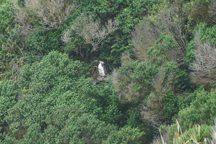 Geeloogpinguïn in Nieuw-Zeeland