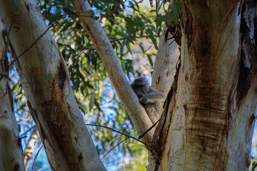 Koala in Koala Hospital Australië