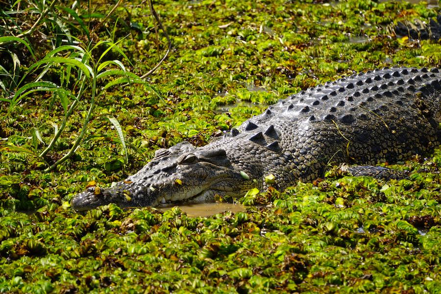 Krokodil Kakadu