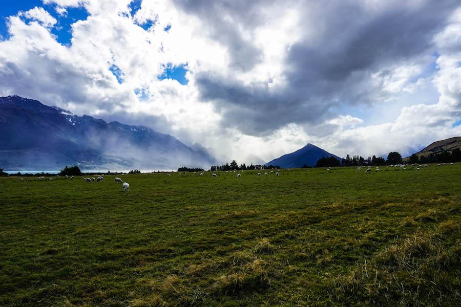 Schapen in Nieuw-Zeeland