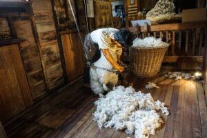 Meer schapen dan mensen in Nieuw-Zeeland